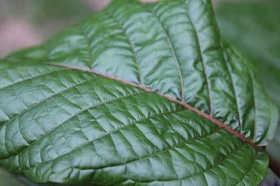Green Kratom Leaf