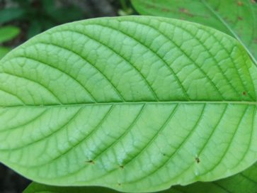 Closeup of Green vein kratom