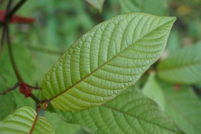 Kratom red vein leaf
