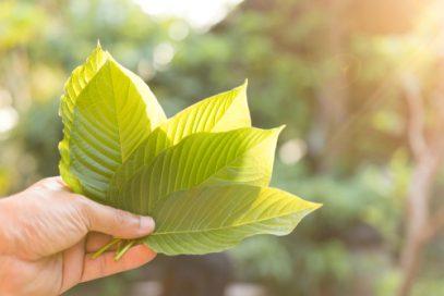 Man holding Mitragyna Speciosa leaves