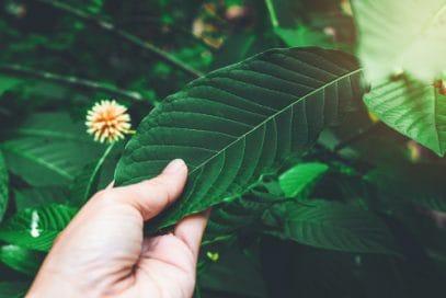 Man holding green vein kratom leaf