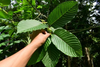 Man holds up leaves from the stem of a Kratom plant