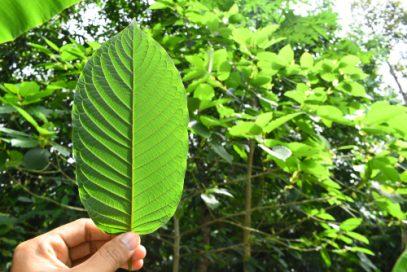 Man is shown holding up a kratom leaf ecome a Kratom Vendor