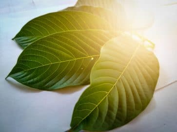 Kratom Leaves in Sunlight