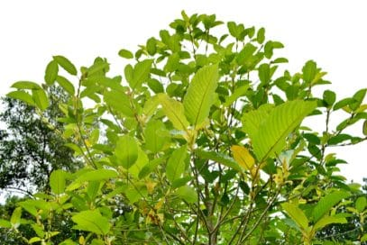Hill Country Kratom Review