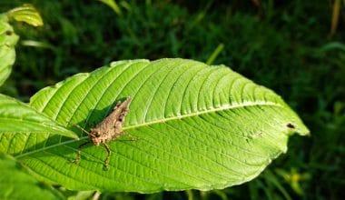 Kratom leaf with grasshopper