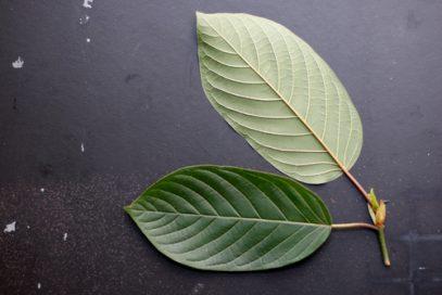 Kratom leaves