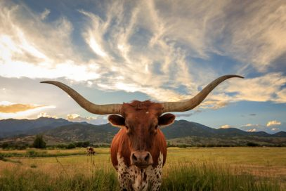 Texas Long-horn steer overseeing the best Kratom vendors in Texas