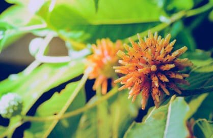 Kratom flowers and leaves growing on tree
