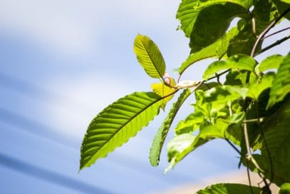 leaves of the kratom tree shown against background of a blue, slightly cloudy sky