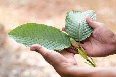 Two hands holding Kratom Leaves